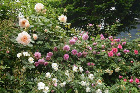 美しいバラたちに惚れ惚れ。福井市「麩市」さんのローズガーデンを訪ねました。