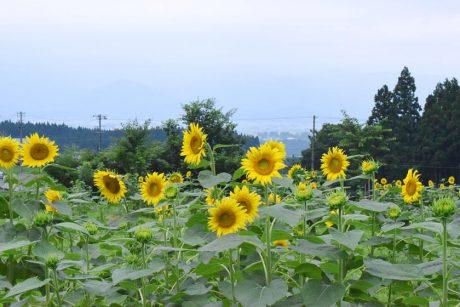 福井県大野市の「スターランドさかだに」のひまわり畑は、まさに今が見ごろ!