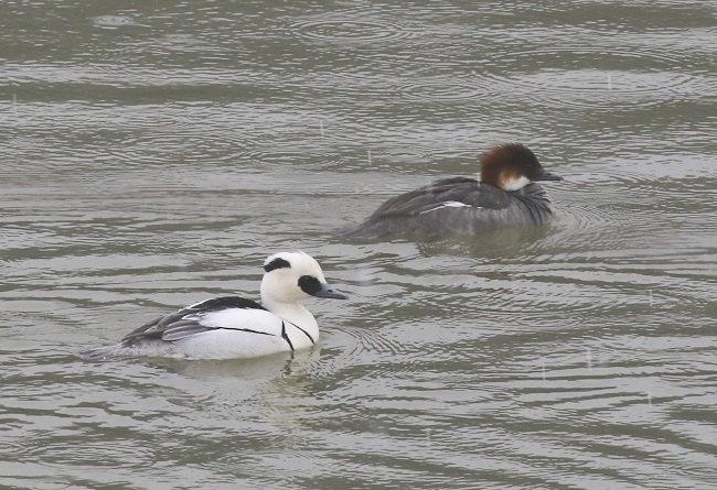 ビギナーのための探鳥会in久々子湖