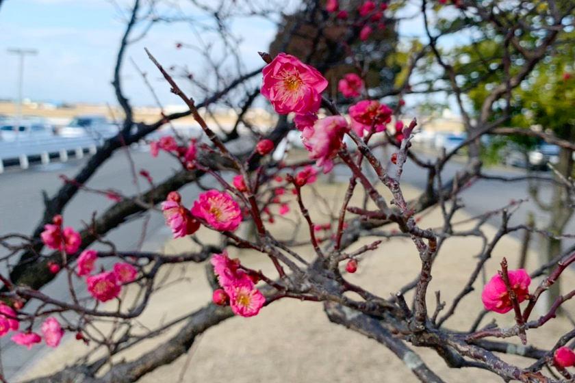え、梅が咲いてる!? もう春…ですか…?【ヒトコマ】