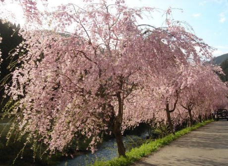 【2019年版】お花見に行こう!  福井県内の桜の名所まとめ  ~桜まつりや春まつり、ライトアップ情報もあるよ~【随時更新】