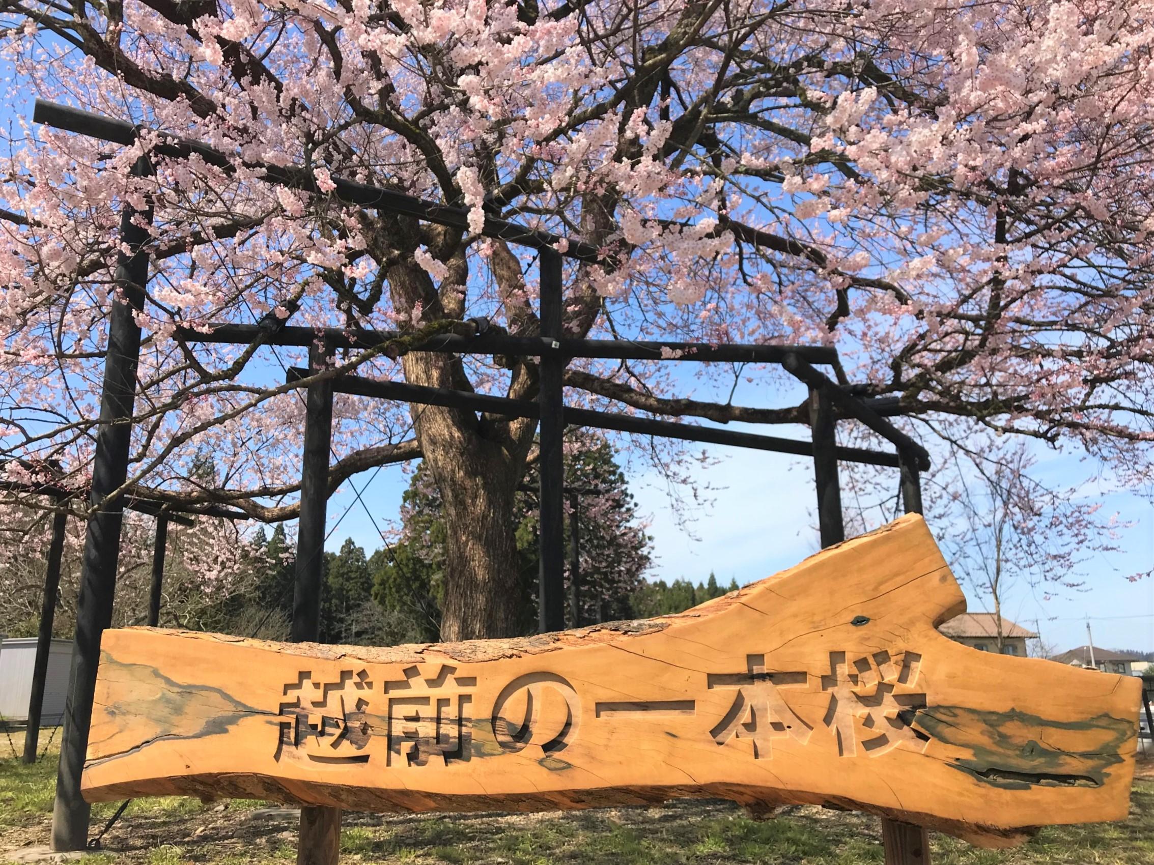 名物「味真野の一本桜」は1本じゃなかった!! 今まさに満開です。【ちょいネタ】