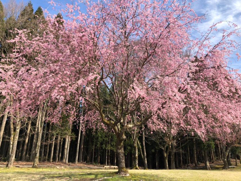 【2019年4月12日】福井県内各地の桜の開花状況をお伝えします! ~ふーぽ編集部の桜観察日記⑨・最終回~