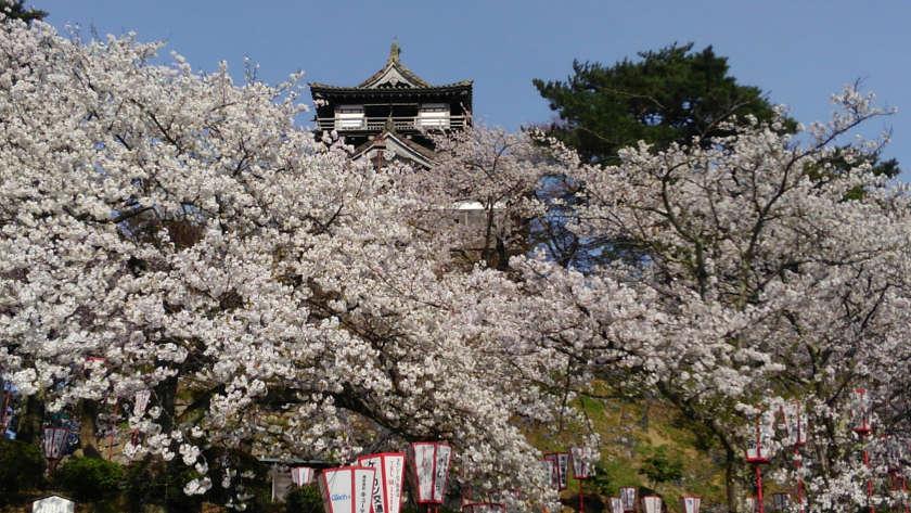 【2019年4月10日】福井県内各地の桜の開花状況をお伝えします! ~ふーぽ編集部の桜観察日記⑧~