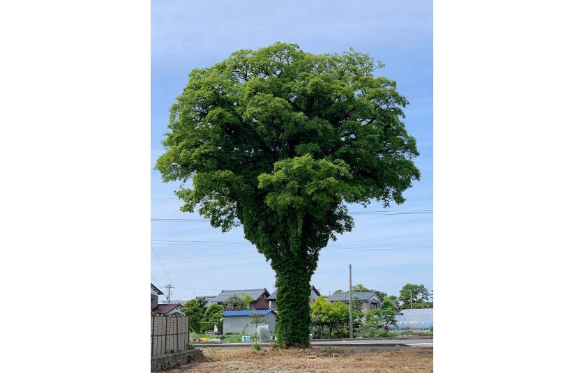 この木なんの木、気になる木? トトロの木を見つけました!【ヒトコマ】