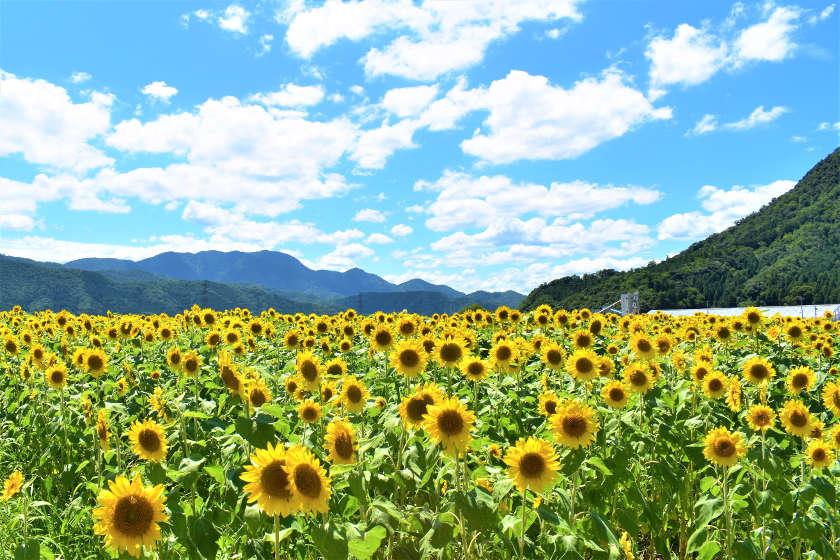 小浜市・宮川のウワサのひまわり畑で20万本が見ごろですよ! 10、11日にイベントあり【ちょいネタ】
