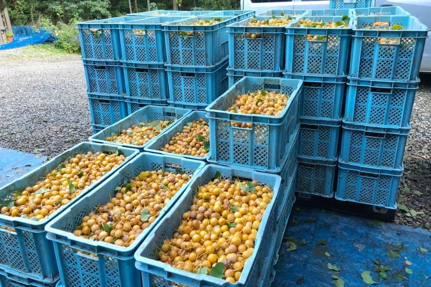 秋冬の食卓の影の立役者!「銀杏」の収穫現場に行ってきました。プロ直伝の美味しい食べ方も伝授します!