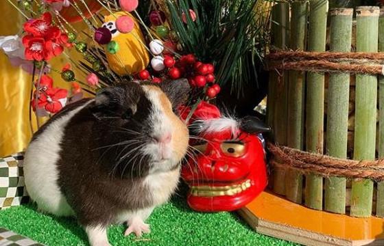 モフモフ♡モルモットとの写真を年賀状にいかが?12/8(日)に足羽山動物園ハピジャンで撮影イベントがあるよ。【ちょいネタ】
