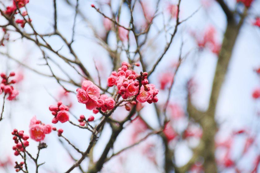 少し早い春の訪れ?福井市の柴田勝家公ゆかりのお寺「西光寺」の梅がもう咲いているよ!【ちょいネタ】