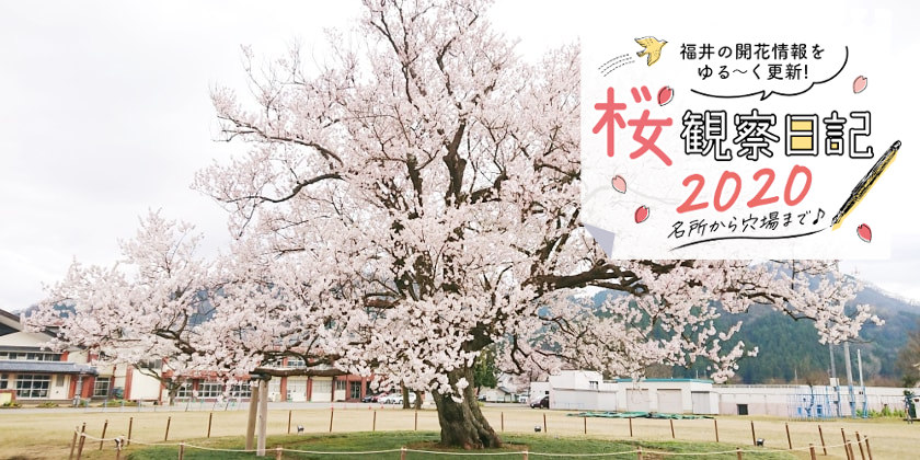 【2020年3月31日更新】福井県内各地の桜の開花状況をお伝えします!④~桜観察日記2020~動画もあるよ!