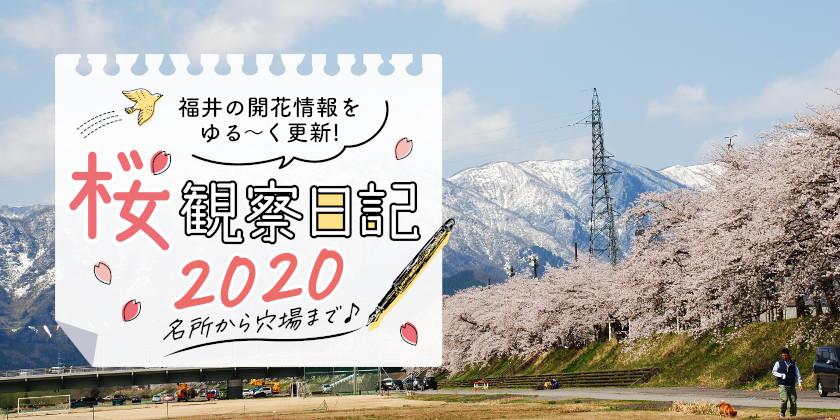 【2020年3月20日更新】福井県内各地の桜の開花状況をお伝えします!①~桜観察日記2020~