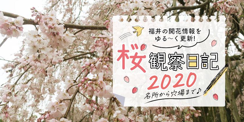 【2020年3月27日更新】福井県内各地の桜の開花状況をお伝えします!③~桜観察日記2020~