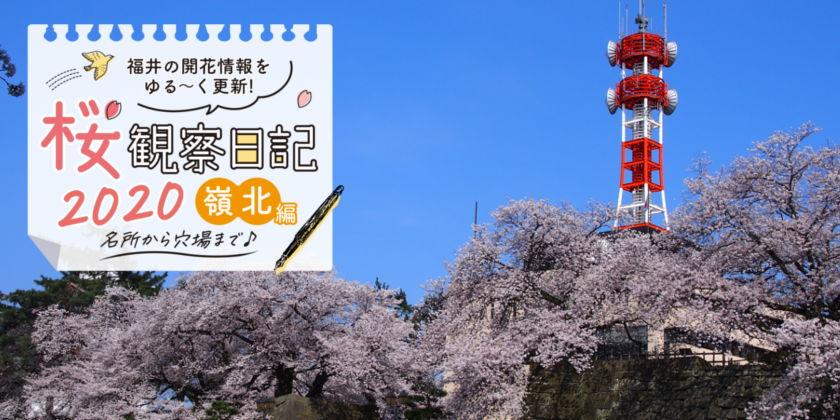 【2020年4月3日更新・嶺北編】福井・嶺北各地の桜の開花速報をお伝えします!⑤~桜観察日記2020~動画もあるよ!