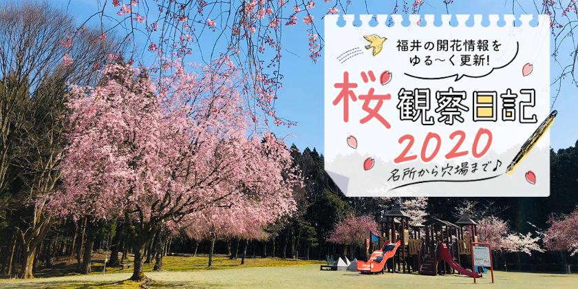 【2020年4月7日更新】福井県内各地の桜の開花速報をお伝えします!⑥~桜観察日記2020~動画もあるよ!