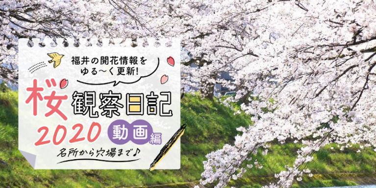 お家でお花見気分を味わおう♪福井県内26カ所分の桜動画まとめ【2020年版】