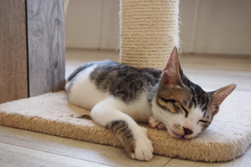 福井市の譲渡型保護猫カフェ「しあわせにゃん家」は猫たちの幸せを全力で応援する猫カフェでした。