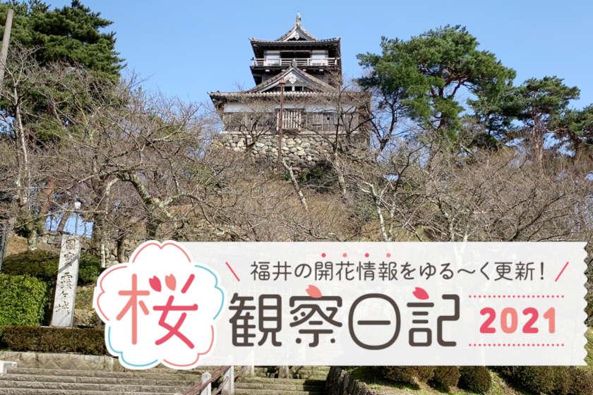 【2021年3月19日更新】福井県内各地の桜の開花状況をお伝えします!①~桜観察日記2021~