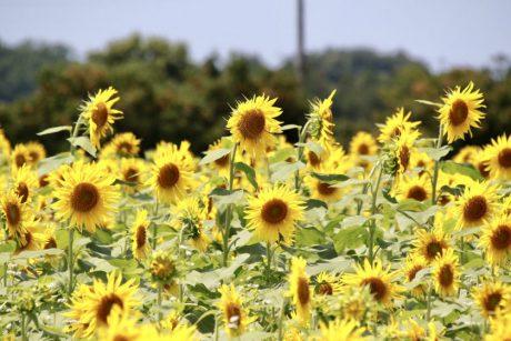 坂井市の「池上ひまわりパーク」は今が見ごろチャンス! リミットの7/28(水)頃までにいこう。